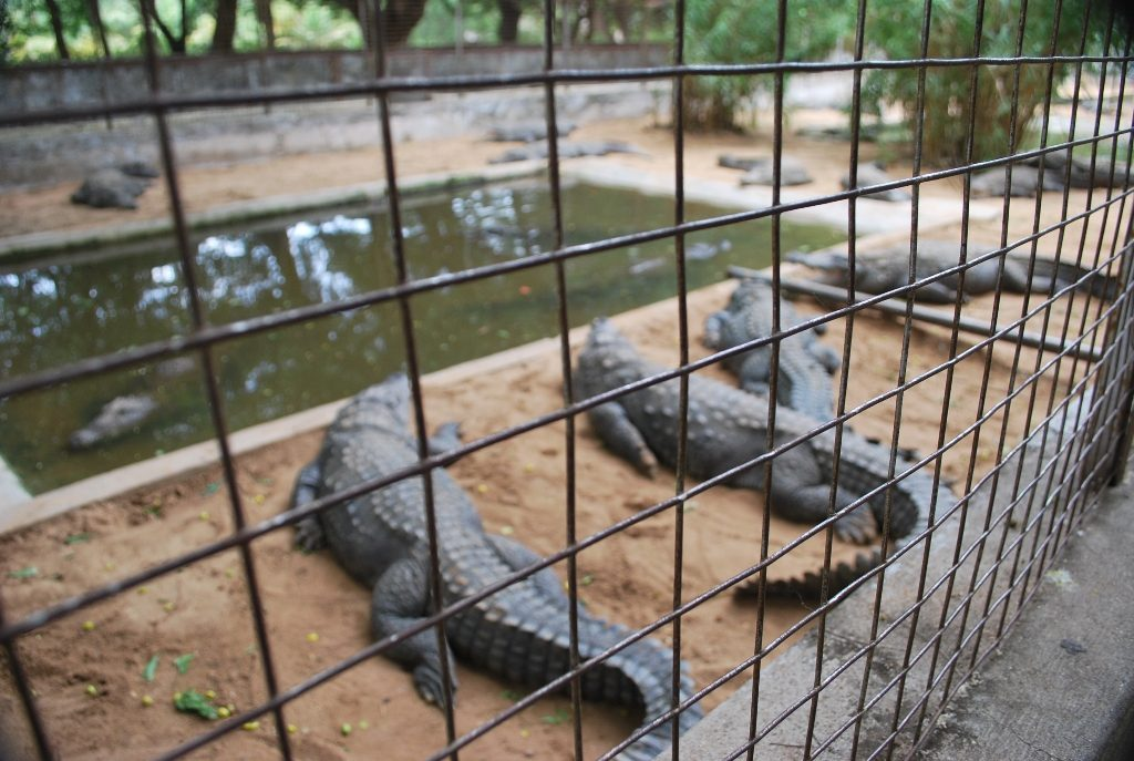 crocodile farm with safety grill.