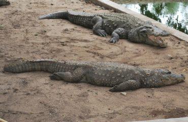 crocodile jodi.