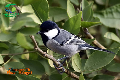 Cinereous Tit at Halageri