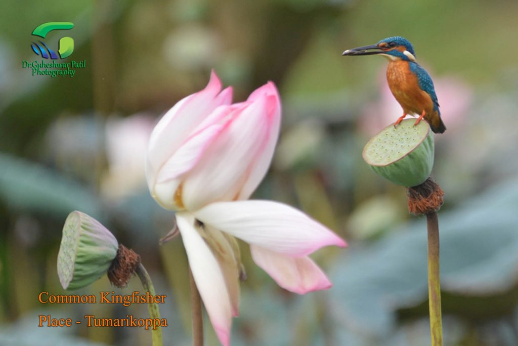 Common Kingfisher in Tumarikoppa