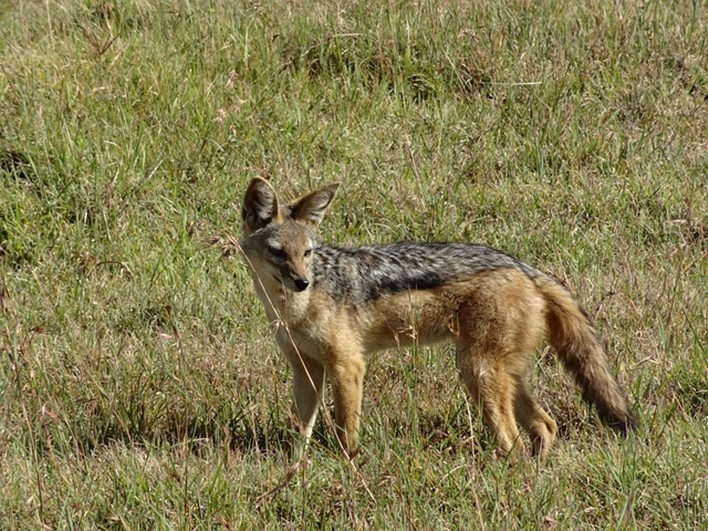 Jackal in Haveri District