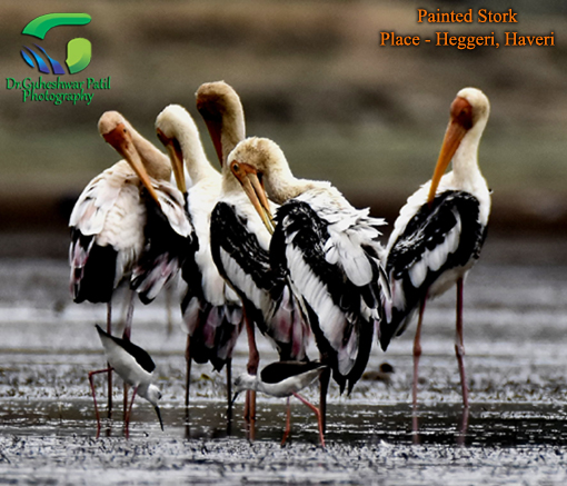 Painted Stork in Heggeri Haveri