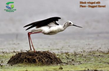Black Wingled Stilt