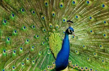 Bankarpur Peacock