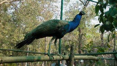 Kanan Pendari Peacock Bilaspur