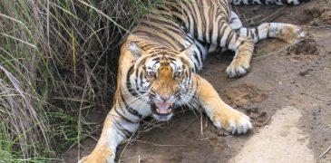 कानन पेंडारी बाघ बिलासपुर