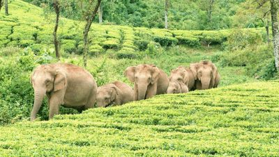 Elephants family in Valparai