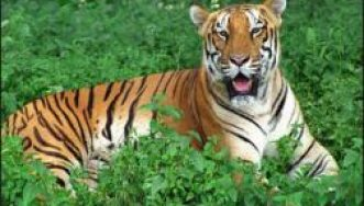 Tiger of Similipal