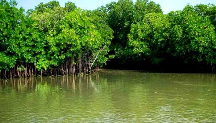 mangrove trees1