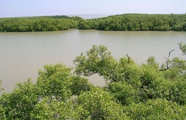 mangrove forest trees