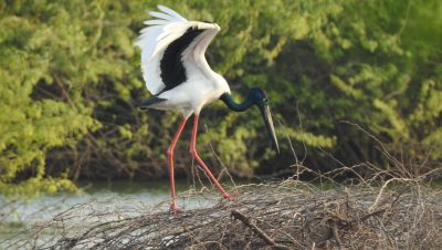 Black Necked Stork, Bird