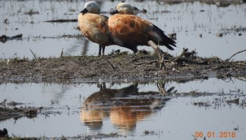 Ruddy Shelduck, Bird
