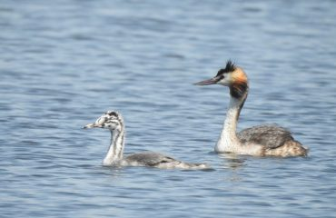 Great Crested Grebe with Baby, Bird