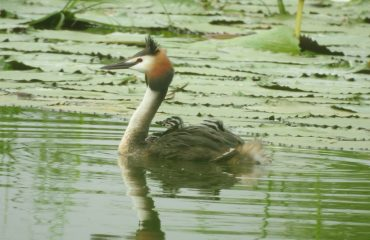 Great Crested Grebe, Bird