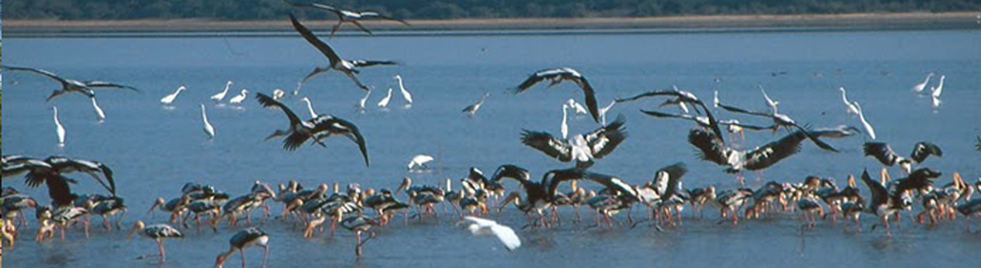 Migratory Birds, Chilika Lake