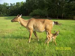 Deer with child