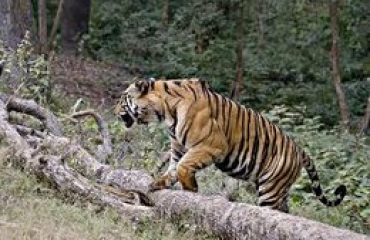 Tiger In Action