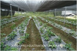 PROTECTED CULTIVATION OF KING CHILLI WITH MULCHING IN GREEN HOUSE UNDER MIDH