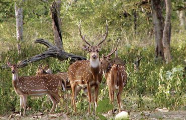 Deer In Tadoba National Park