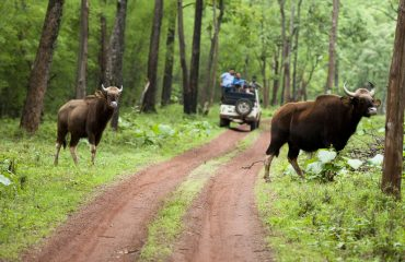 Bison In Tadoba National Park