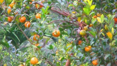 Oranges at Jampui, Kanchanpur