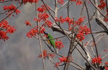 A blue throated barbet haralding the sowing season
